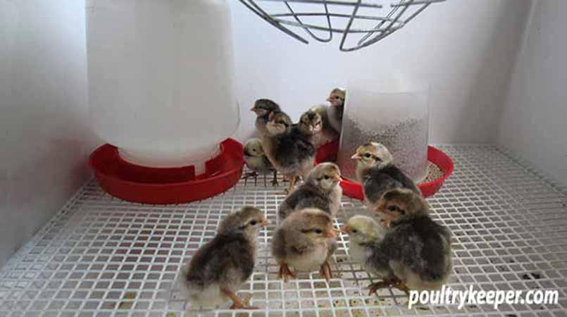 Feeder and drinker for chicks in brooder