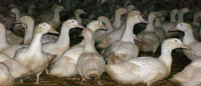 Commercial Duck Welfare