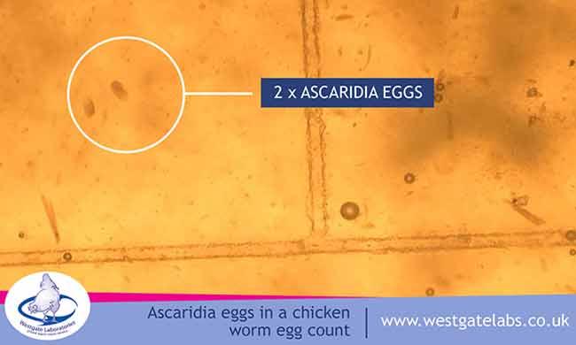 Ascaridia Eggs