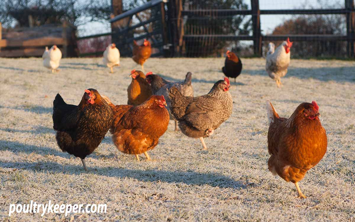 Chickens in cold winter