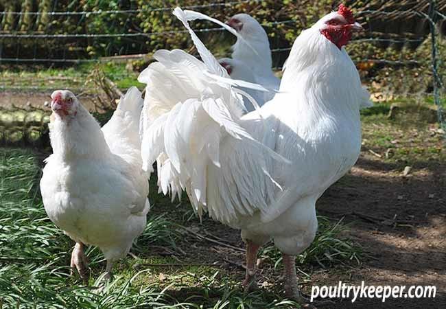 Ixworth Chickens