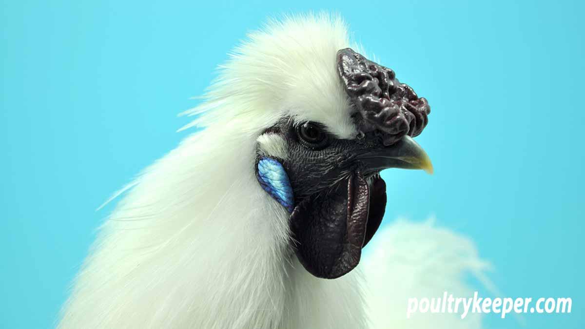 White Silkie Chicken Head