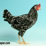 Ancona Chicken Female