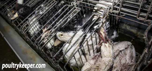 Ducks in Cages for Foie Gras