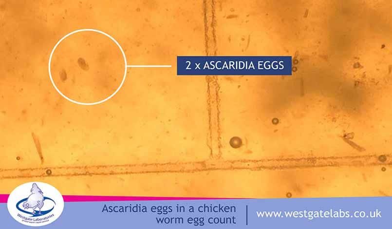 Accaridia eggs under a microscope