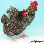 Pair of Marans Chickens