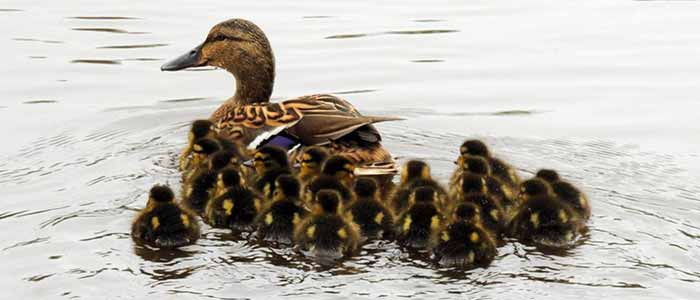Stop Following Me! - Imprinting in Ducks and Geese