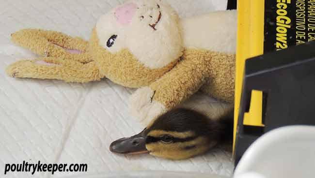 Lone Duckling Under Heater