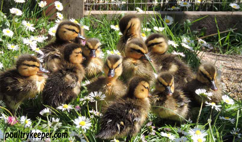 How to Care for Wild Baby Ducks