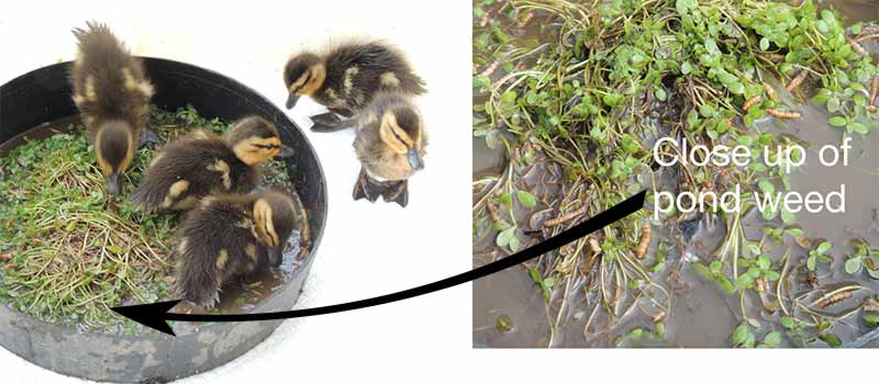 How to Care for Wild Baby Ducklings