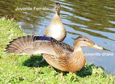 Sexng Young Mallard Ducks