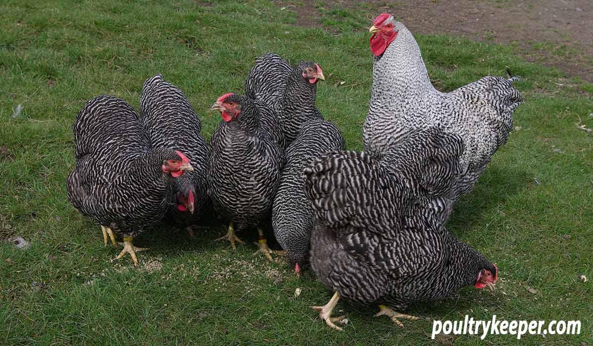 Barred Wyandotte breeding group.