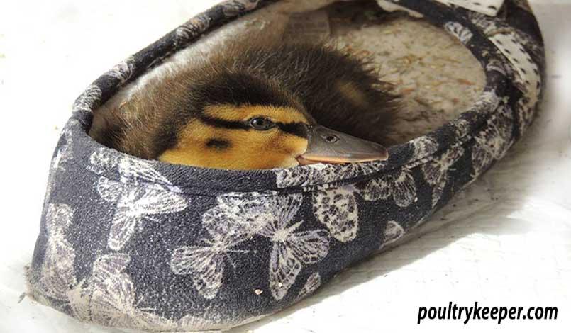 Duckling in Slipper