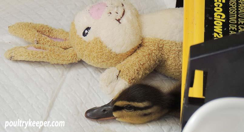 Duckling under EcoGlow Brooder