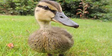 Imprinting in ducks