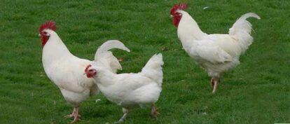 white cockerels