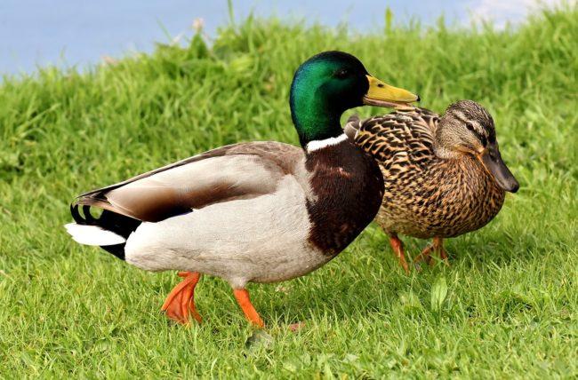 ducks, pair, mallards