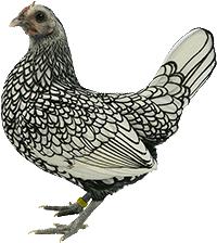 Silver Sebright Bantam Chicken