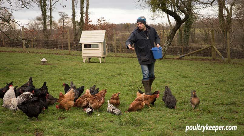Feeding Chickens In Winter