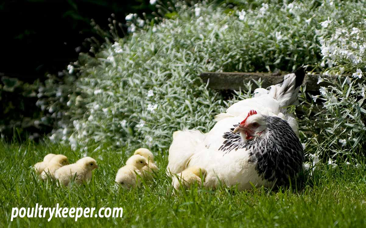 Caring for a Broody Hen and Her Chicks