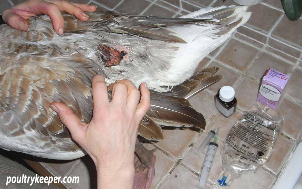 Dog Bite Wound on Goose