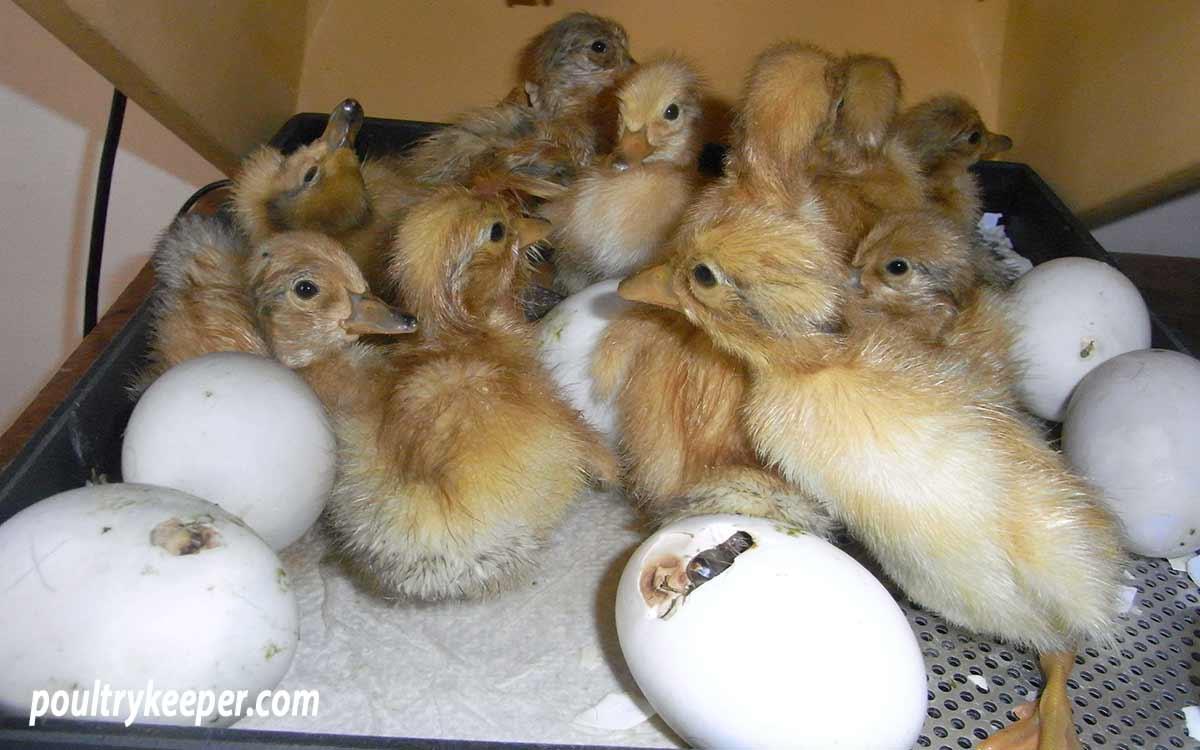 Raising-Ducklings