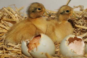 Hatching Ducklings
