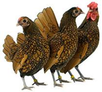 Chicken Breeds Thumbnail