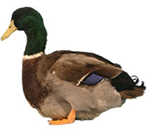 Duck Breeds Thumbnail