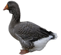 Goose Breeds Thumbnail