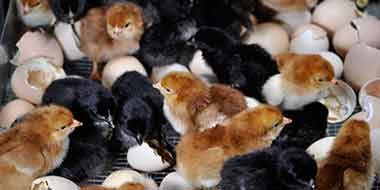 Hatchability of Chicken Eggs